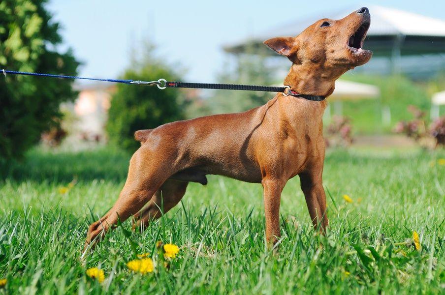 Dog training dog barking